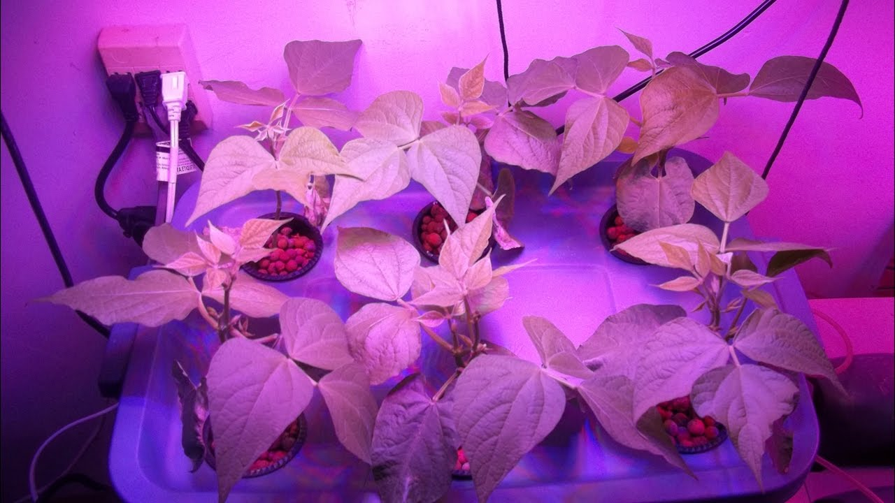 600 Watt LED Grow Light Test Growing Indoor Hydroponic Green Beans