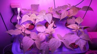 600 watt higrow led grow light test growing indoor hydroponic green beans