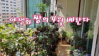 야생화짱의 4월 베란다/베란다정원 야생화키우기/봄베란다…