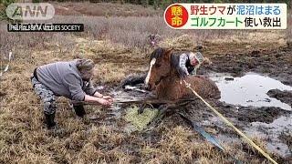 """""""泥沼""""にはまった野生の馬 ゴルフカート使い救出(20/05/15)"""