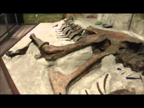 Wankel rex (Tyrannosaurus rex). Museum of the Rockies. Bozeman. Montana. USA