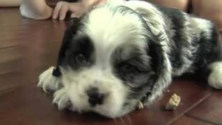 """Charlie Our Cocker Spaniel (click """"watch In Higher Quality"""")"""