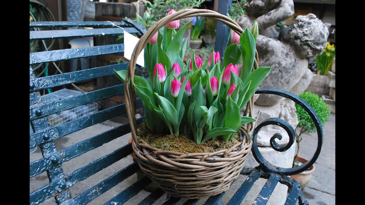 Выгонка тюльпанов к 8 марта.