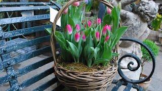 Выгонка тюльпанов к 8 марта (новому году) в домашних условиях