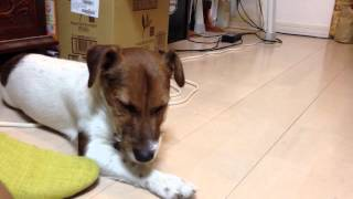 愛犬が寝落ちします。可愛いです。 すごい可愛いです。 「いや、寝てま...