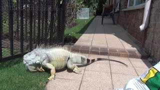 Iguana behavior - Friendly versus Territorial