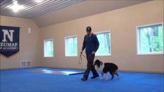 Meika (australian Shepherd) Dog Training Camp Video