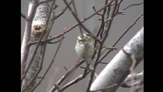 カラフトムシクイ(1)数少ない旅鳥(等々力緑地公園) - Pallas's Warbler - Wild Bird - 野鳥 動画図鑑