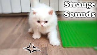Adorable Kitten Reaction Interesting Sound, Fluffy Persian kitten