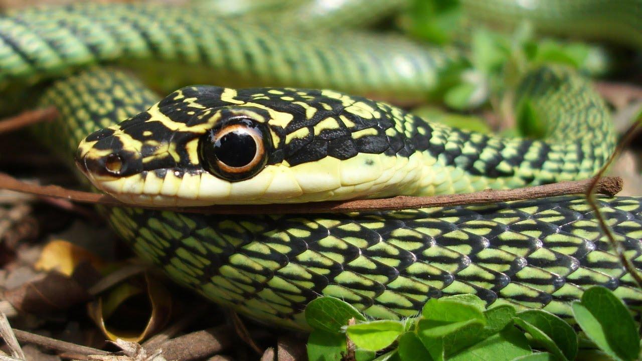 Flying Snake Chrysopelea Ornata Youtube