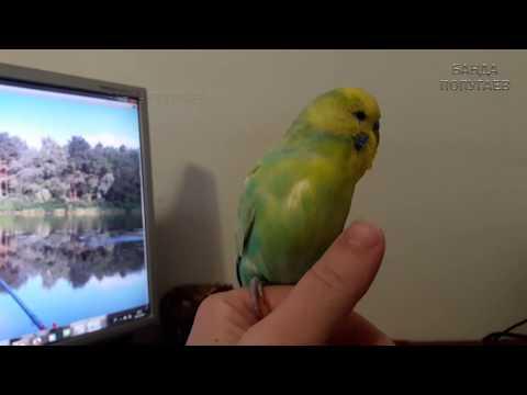 📚 ✉ Попугай кусается и улетает    Почему попугай разлюбил хозяина?