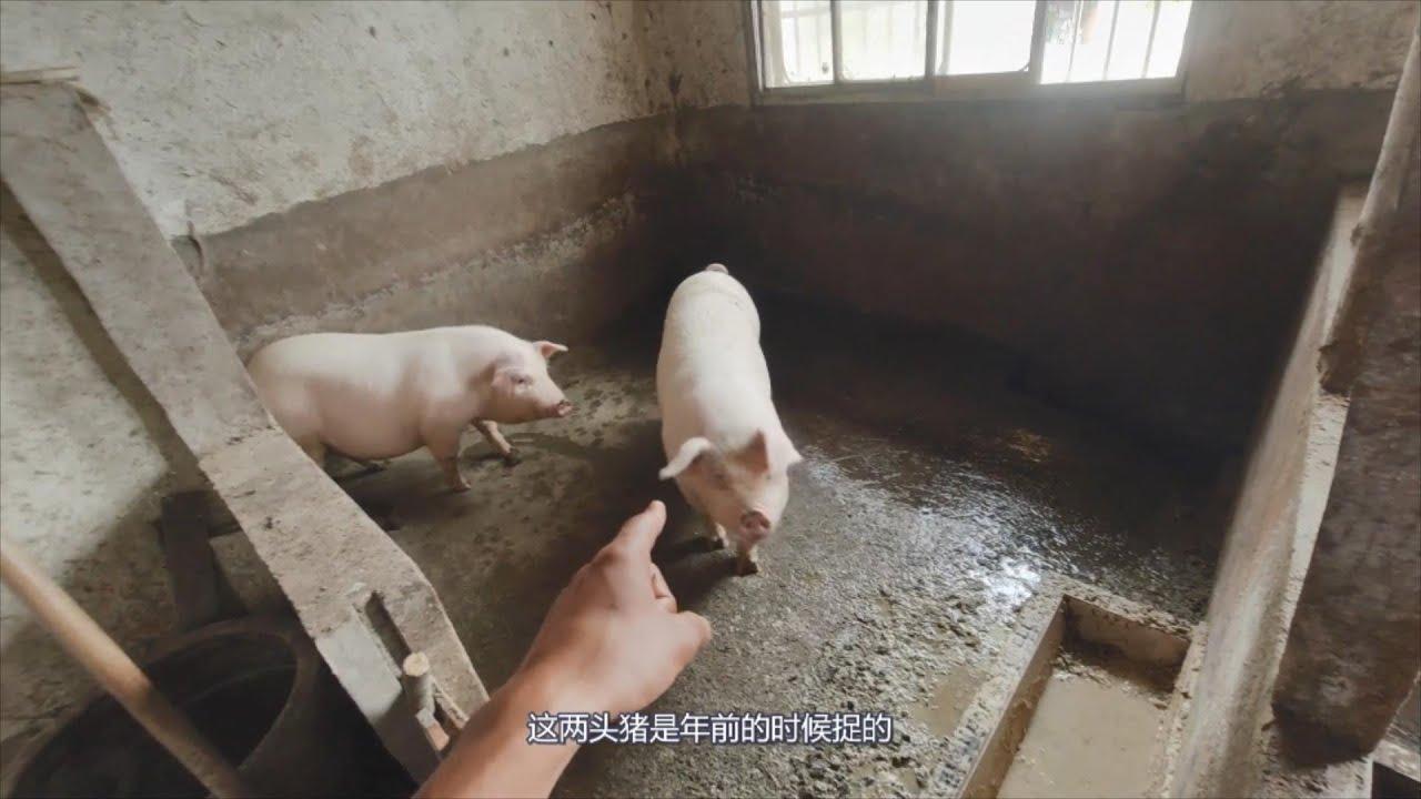 今年猪价好,农民房间里养四头家猪,到年底可长到三百斤