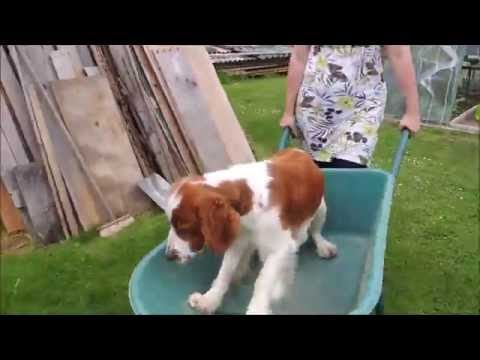 Welsh Springer Spaniel goes in wheel jede v kolecku