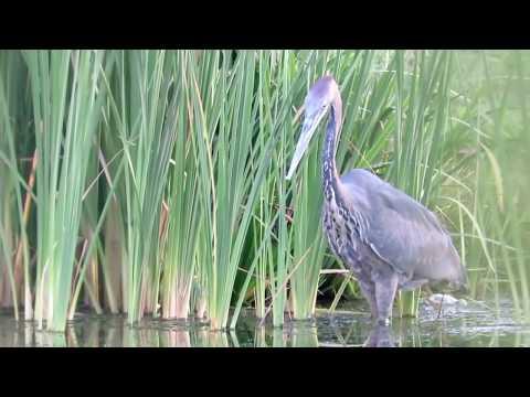 Heron swallows massive catfish