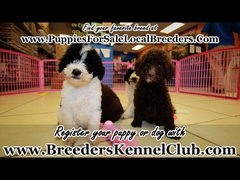 GOLDENDOODLE PUPPIES FOR SALE IN GEORGIA PUPPY BREEDERS