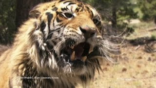 Decoding Tiger Voices