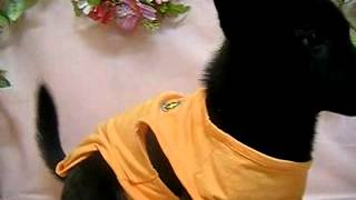 生年月日:2014/08/08 性別:オス カラー:黒虎.