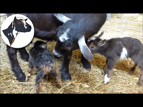 Confused First Time Goat Mom