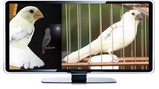 Curió Branco, pássaro raro de extrema beleza.