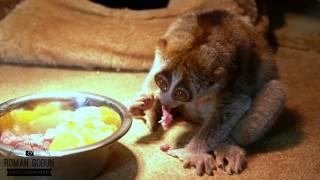 Лемуры Лори 4К видео (lemur lori 4k video)