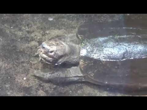 Giant Asian Pond Turtle (Heosemys grandis) Prague Zoo צב אגמים אסייאתי ענק