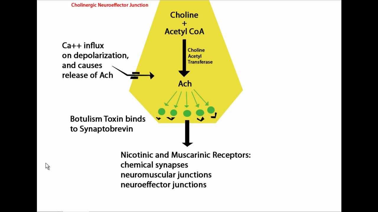 Mechanism of Botulinum Toxin (Botox) Tutorial - YouTube