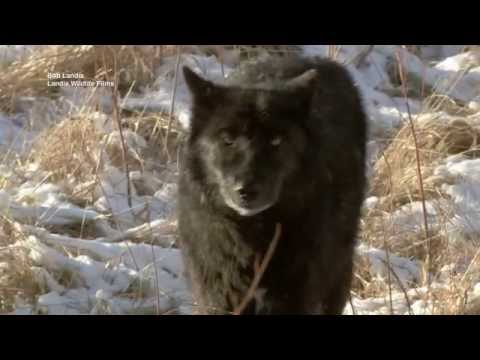 Understanding the ecological role of wolves in Yellowstone National Park - Science Nation