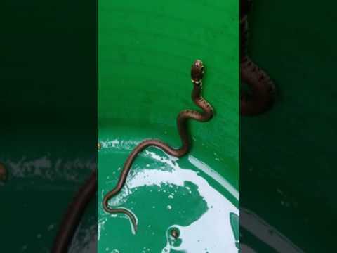 Grass Snake - Natrix Natrix  - Grassnákur - Slöngur - Snákar - Skriðdýr