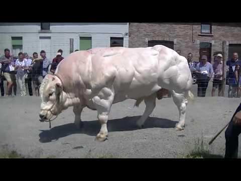 Biggest Bull I've Ever Seen