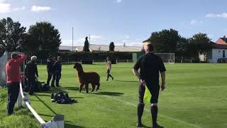 Soccer Match Halted After Alpaca Invades the Pitch in West Yorkshire