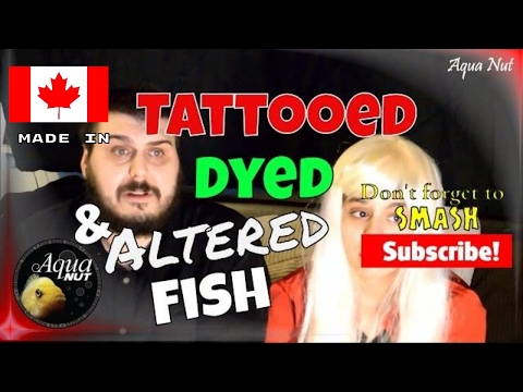 Dyed, Tattooed, Painted &Altered Fish | Jellybean Blood Parrot Cichlid