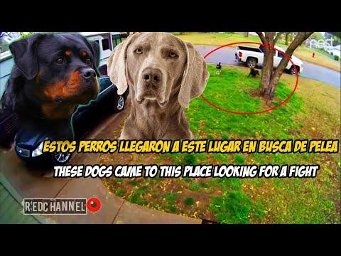 Rottweiler VS Weimaraner: Rivales perrunos del Vecindario