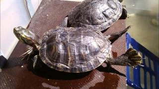 Trachemys scripta... The first 6 months with me...