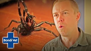 Tim Faulkner Finds Two Funnel Web Spiders In Friends House! | Classic Clip | Bondi Vet