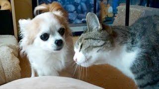 猫(おはぎ)の頭突きを嫌がるチワワ(ココ)です。 【blog http://ameb...