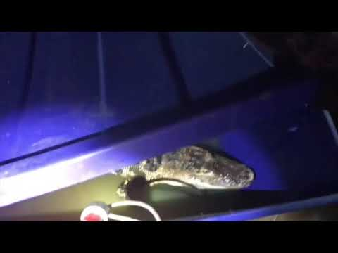 Rescue Group Seizes Illegal Caiman in DC Home