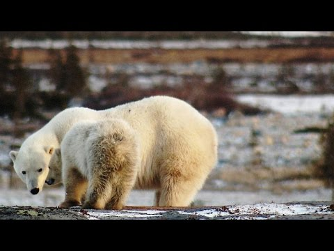 A Lucky Break for a Starving Polar Bear Mom and Her Cub