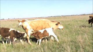 Коровы в хозяйстве Клещи Телята на подсосе
