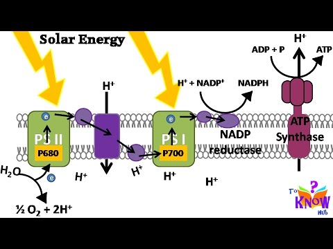 Biology Photosynthesis Light Reaction How Atp Nadph Is Produced