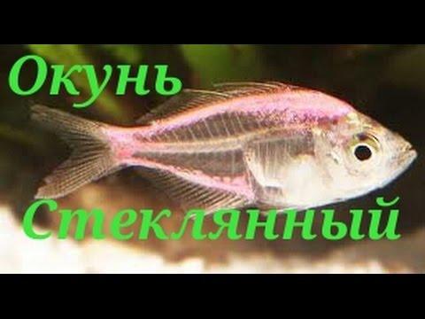 Аквариумные рыбки Окунь Стеклянный
