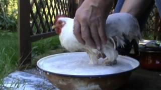 Comment soigner une poule malade