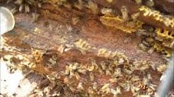 Bee Removal Niskayuna NY (Schenectady County)