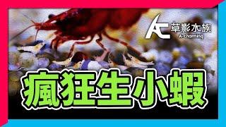 小青養第2天居然瘋狂生小蝦子,辦公室也能養!?|AC草影水族