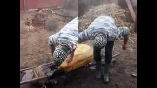 Taiatul porcului  - Sutesti - Jud Braila - 2013