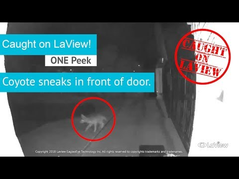 ONE Peek Captures Coyote!   Caught On LaView