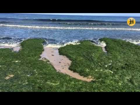 Green sea lettuce (Ulva Lactuca) washes up on Monterey State Beach