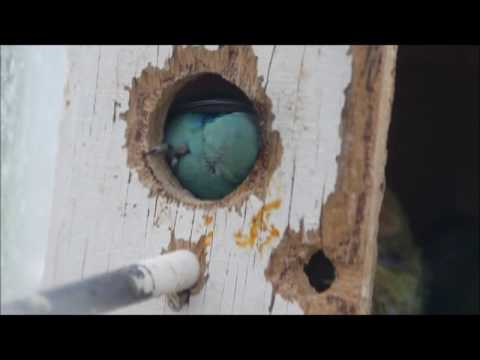 LOVE BIRD PUSHING BABY OUT OF NEST