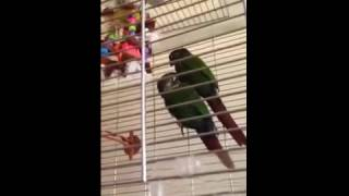 Part Breeding Conures