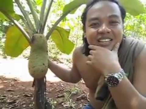 Mangga Berbuah Pisang Pohon Pisang Berbuah Nangka