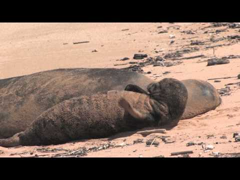 Endangered Hawaiian Monk Seal with Pup